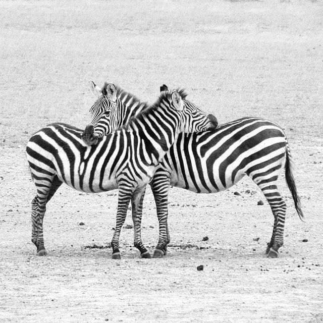 Zebras in Tanzania, Jamie Remmers